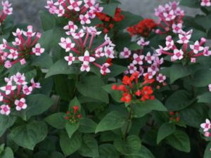 出典:http://happamisaki.jp-o.net/flower/h/bouvardia.htm