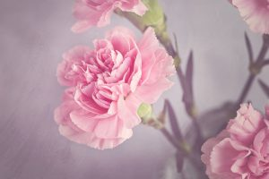 carnation-1323882_1280
