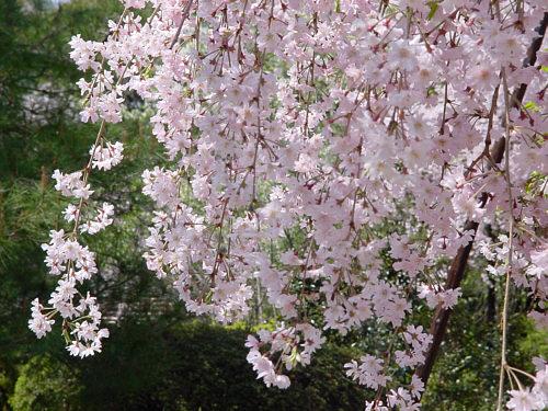 出典:http://www.tree-flower.jp/26/heian_jingu/benisidarezakura.htm