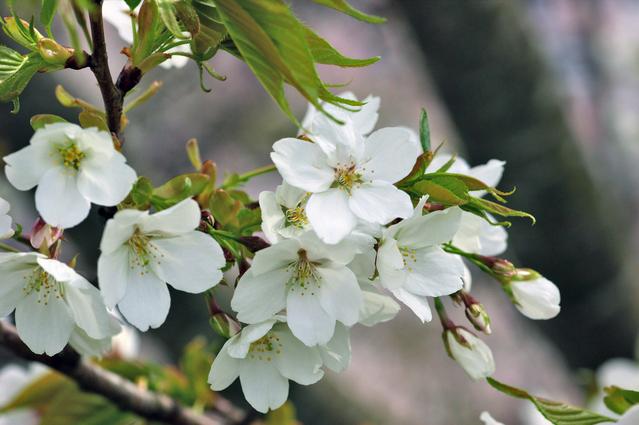 出典:http://item.rakuten.co.jp/gardentown/oshimazakura-25/