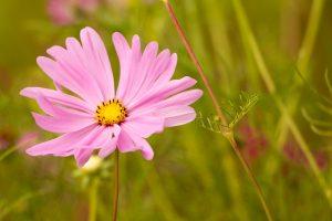 pink-flower-1683592_1280
