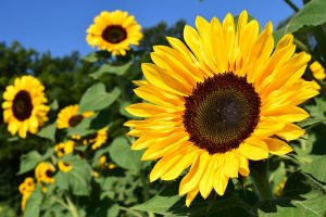 sunflower-1627193_1280