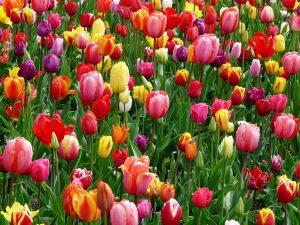 tulips-52125_1280